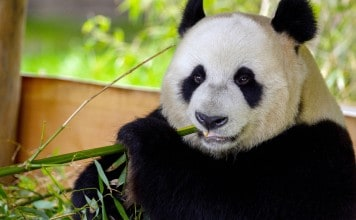 Xing Ya in Ouwehands Dierenpark
